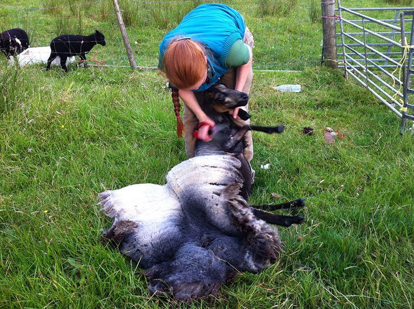 Becky blade shearing a homebred Shetland ewe