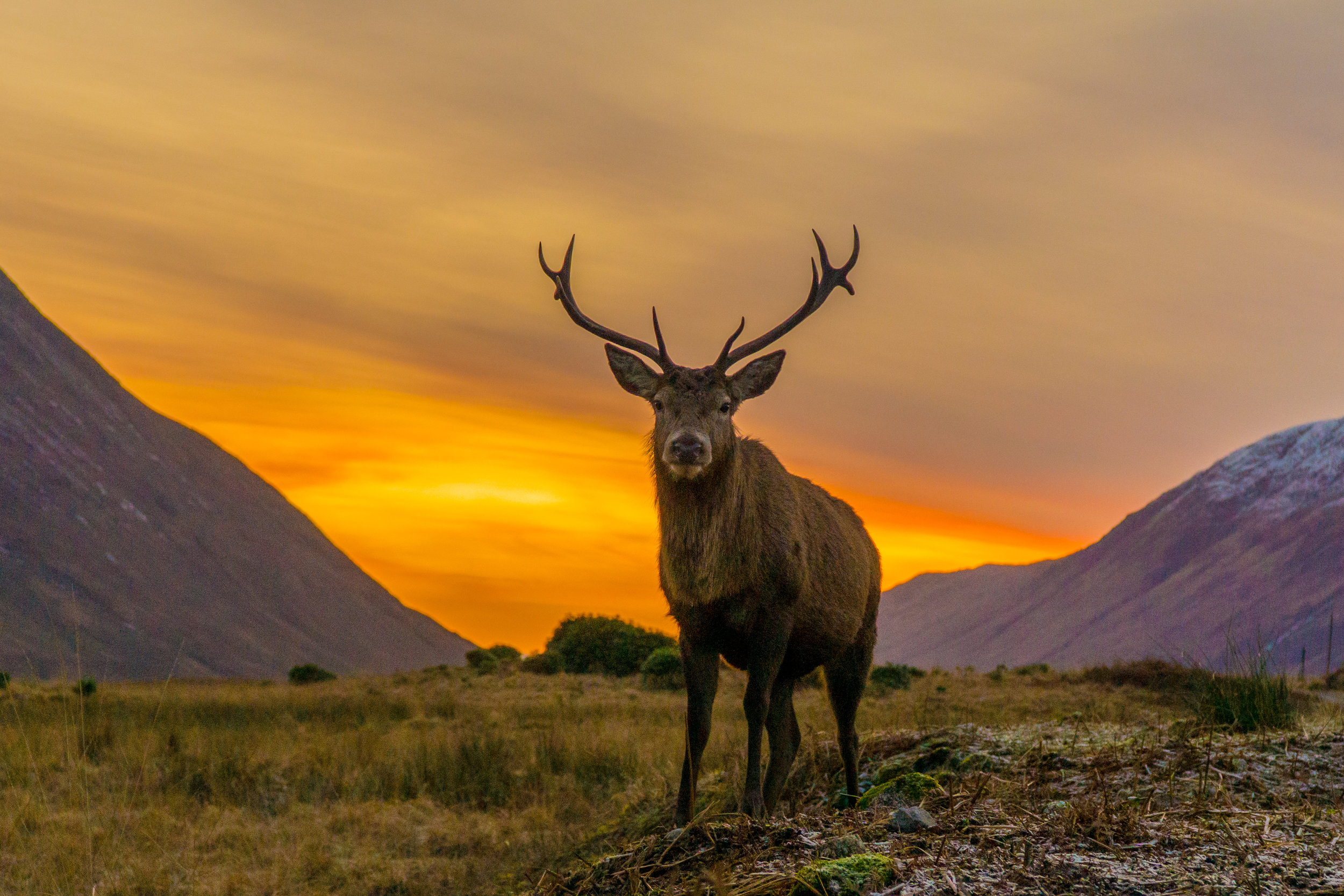 scottish stag at sunset