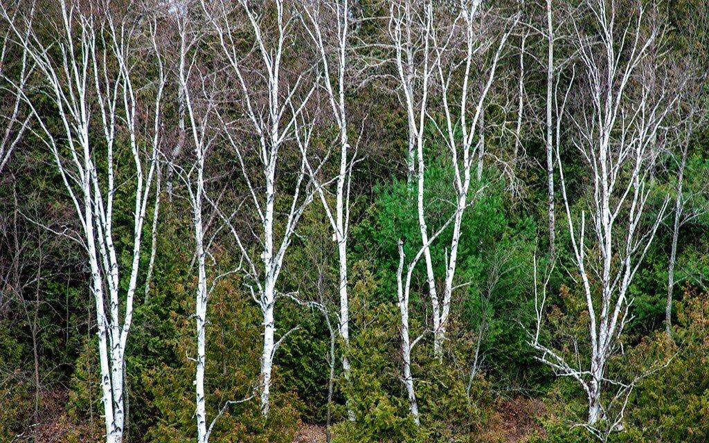 Trees MHarris.jpg