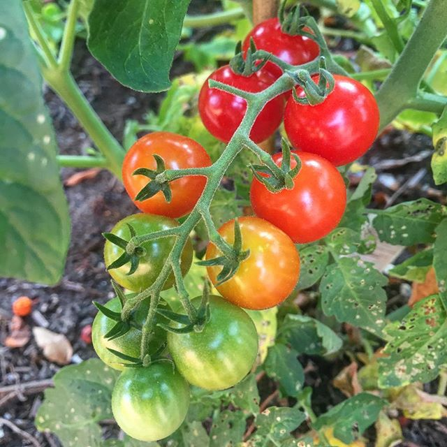 How pretty are my tomatoes? 🌈🍅