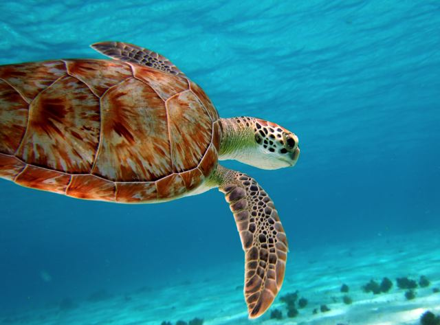 scuba-diving-turtle.jpg