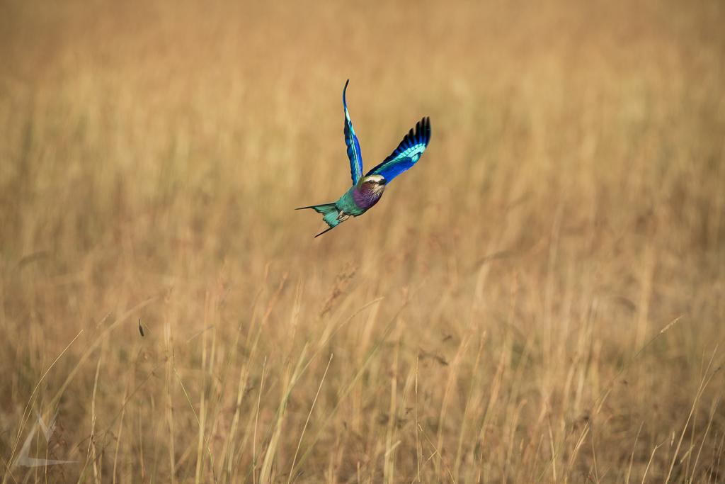 20150805_Masai_Mara_1886-1.jpg