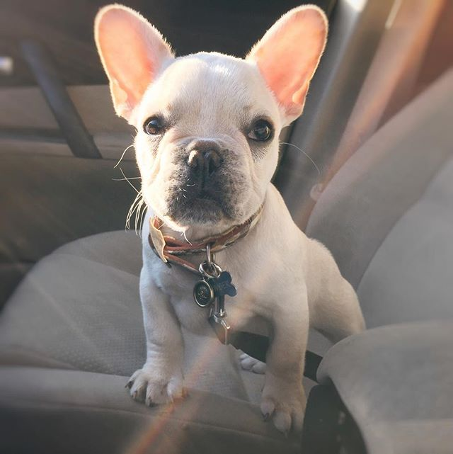 Excited for his first day of school @theboardhound #Bowser #puppy #frenchbully #frenchbulldog #frenchies #frenchiepuppy #frenchie