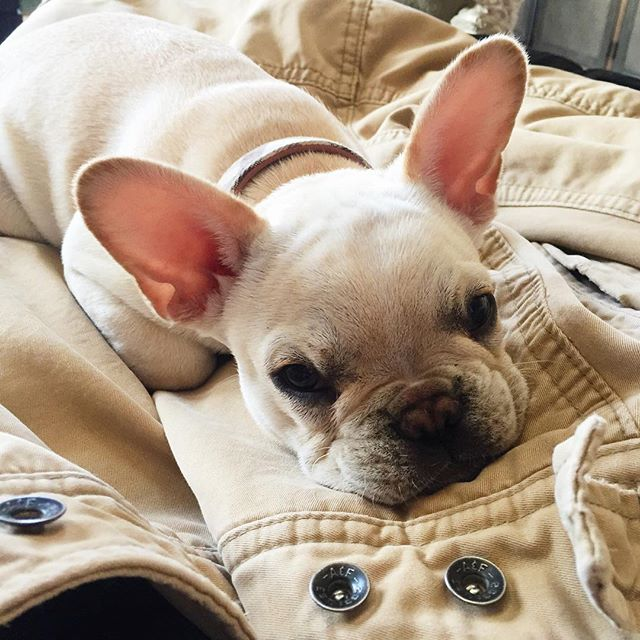 This jacket you want is very comfy. #frenchiepuppy #frenchbulldog #frenchbully #frenchies #frenchie #Bowser