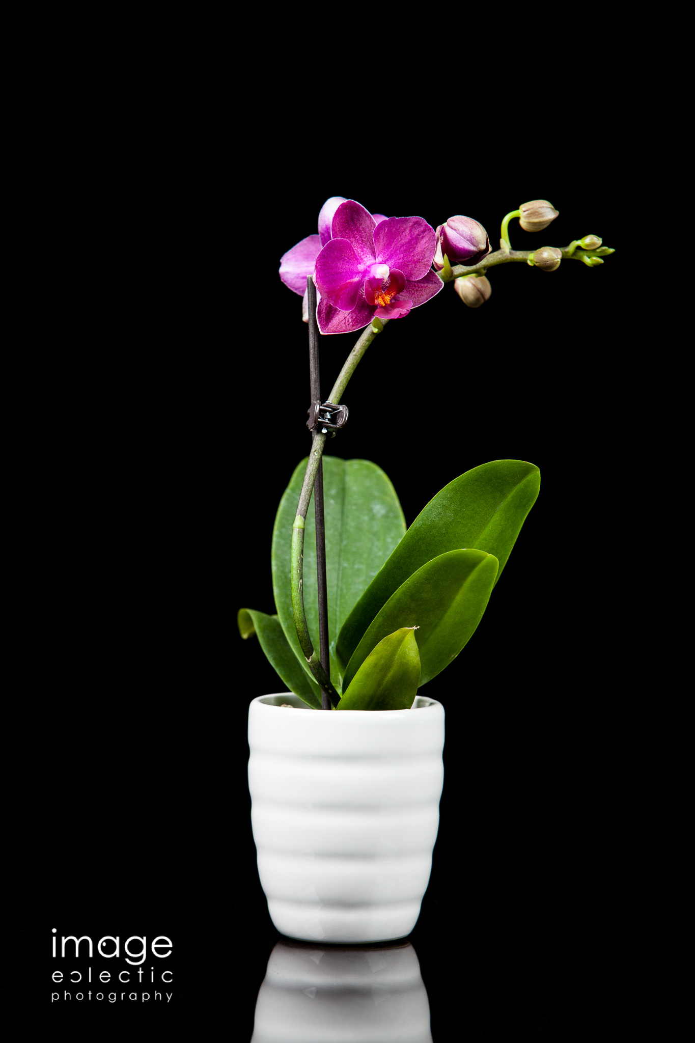 Orchid in a Cup