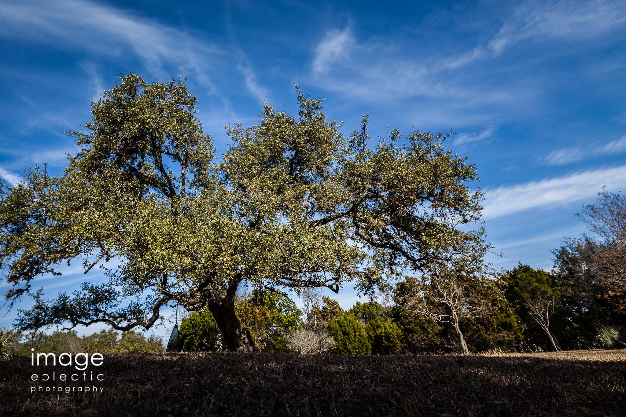 Backyard Oak