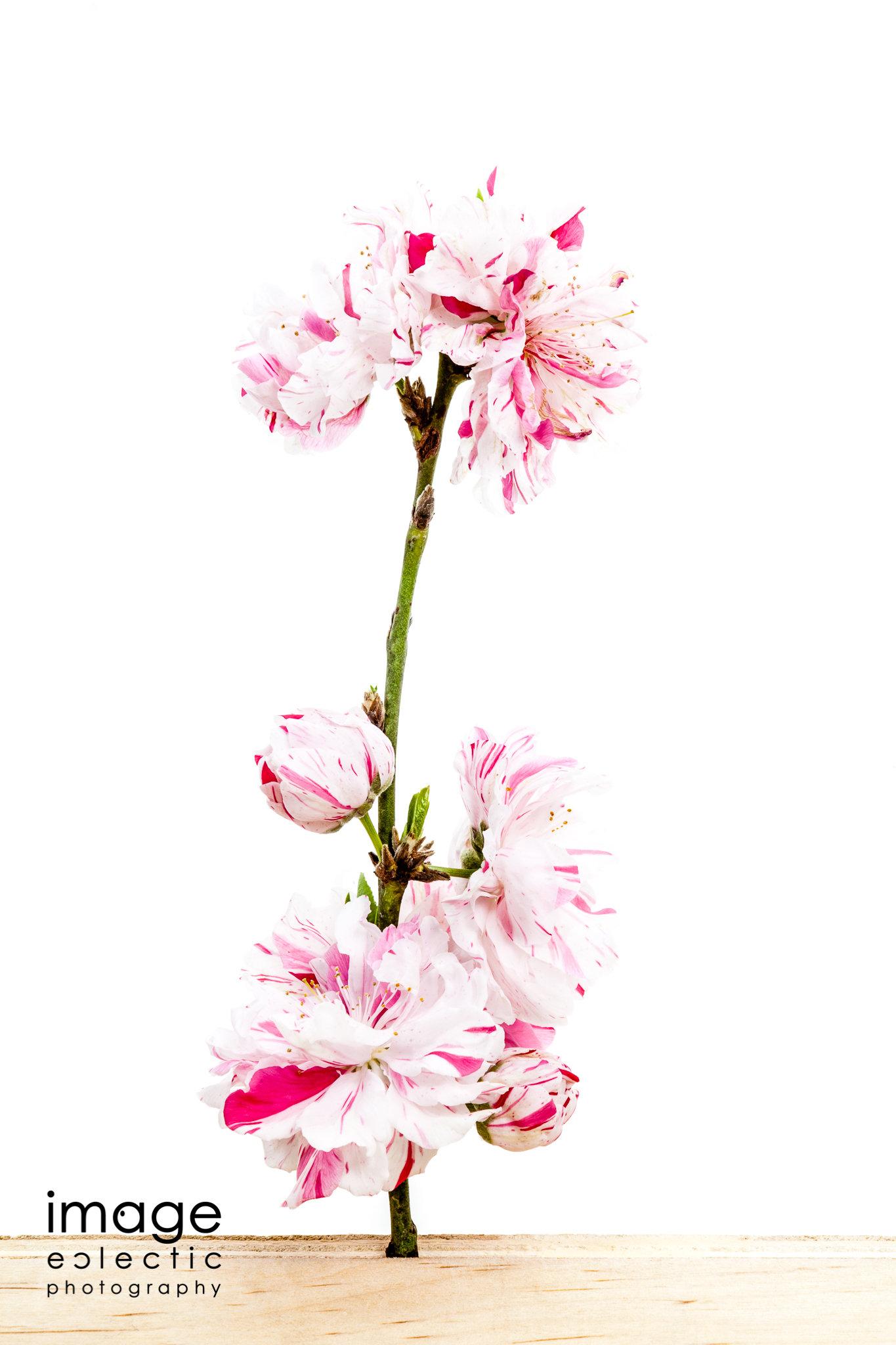 Striped Blossoms