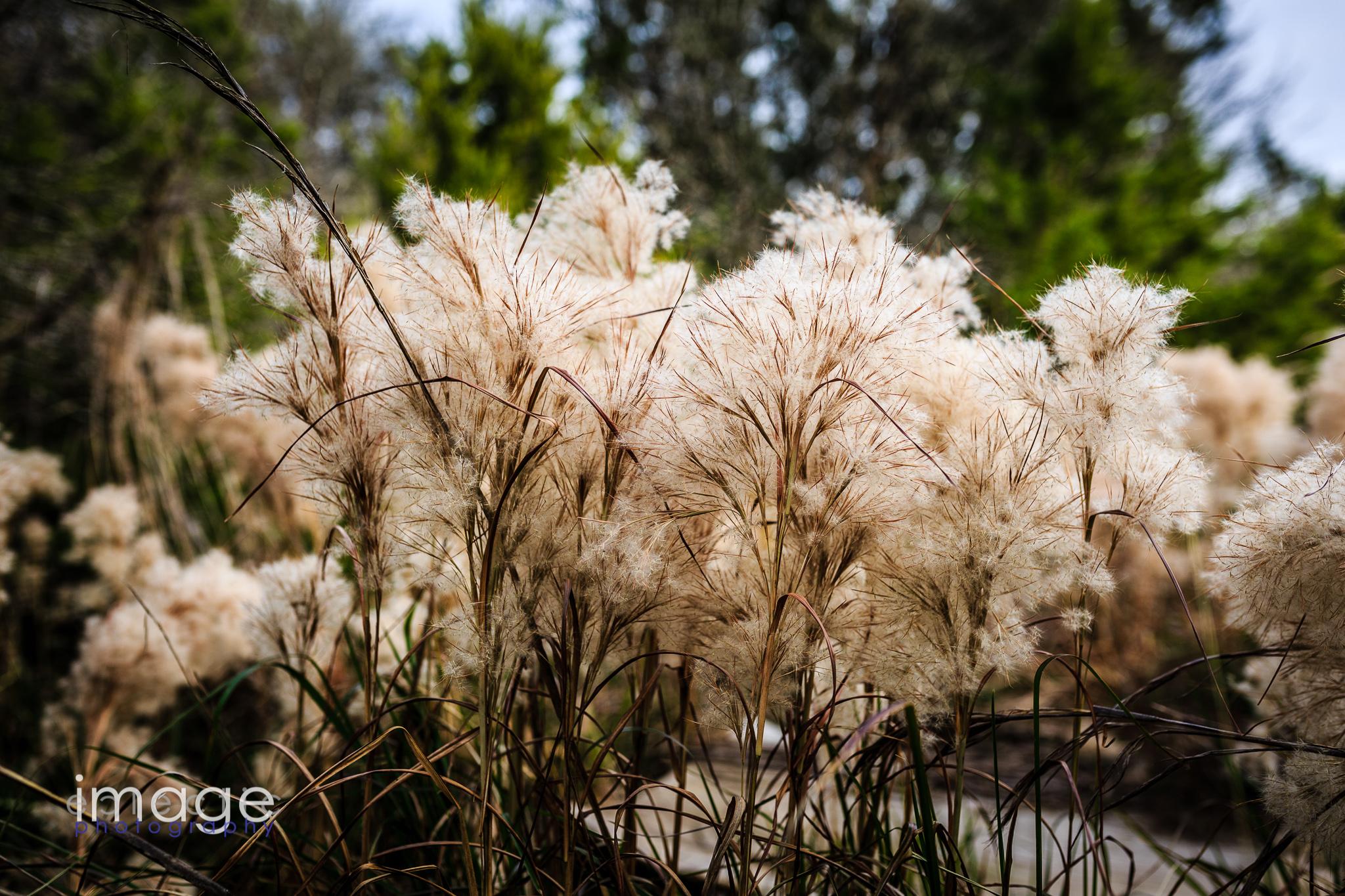 Puffy White Grass