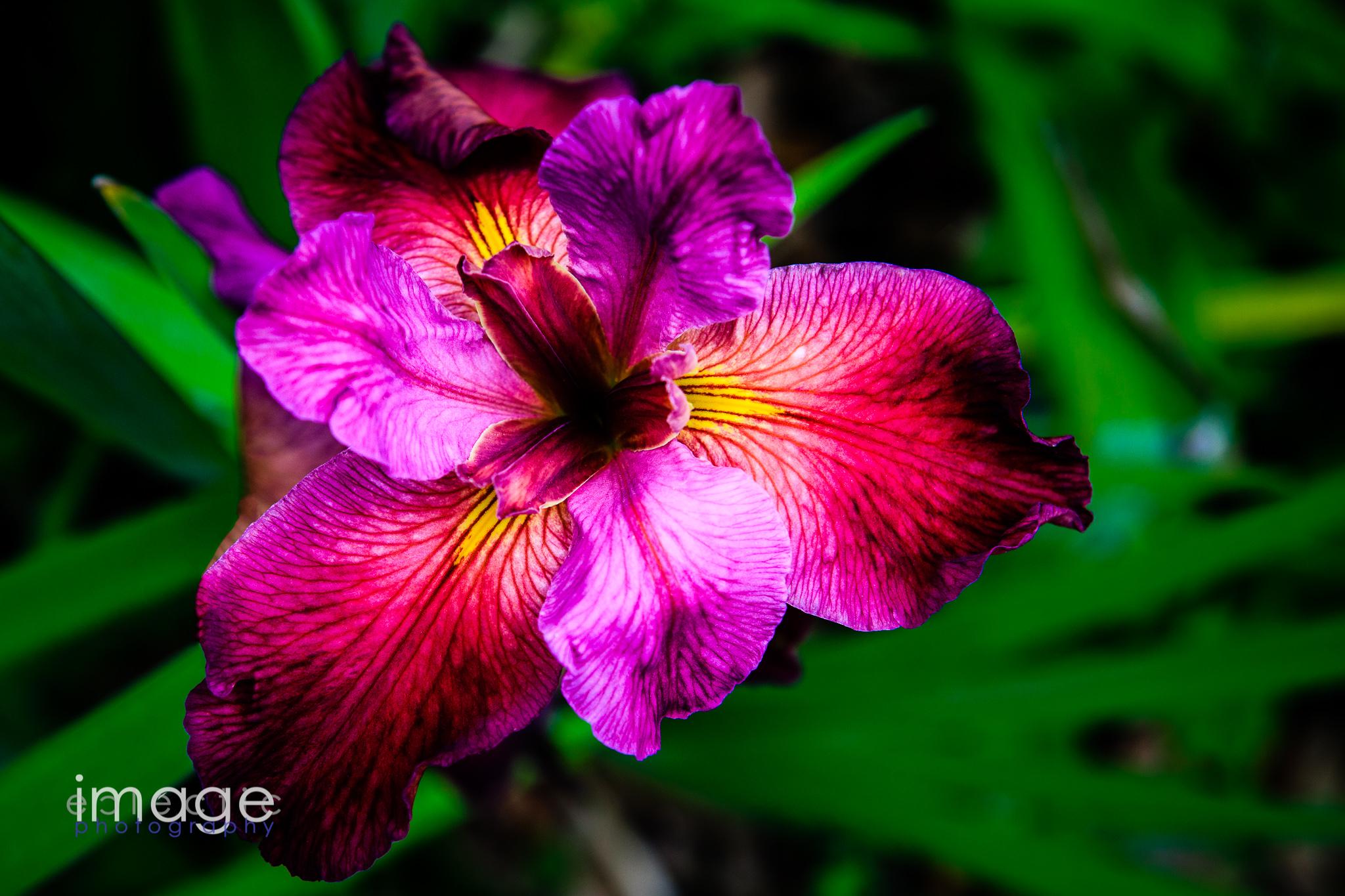 Showy Iris