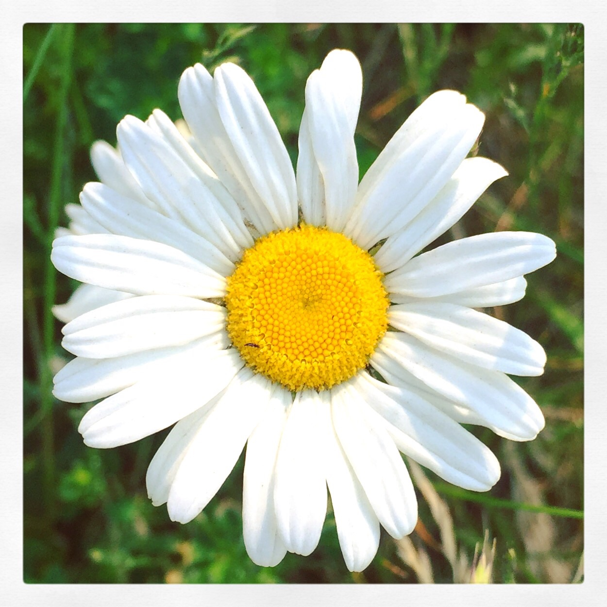 random wild daisies @ w 4th st bridge