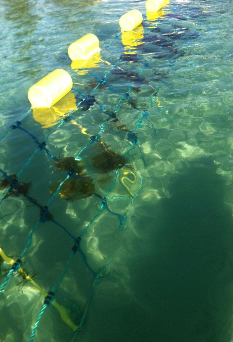 Small clusters of leafy seaweed on Global Marine Enclosures'upgraded Aquarius Barrier design.