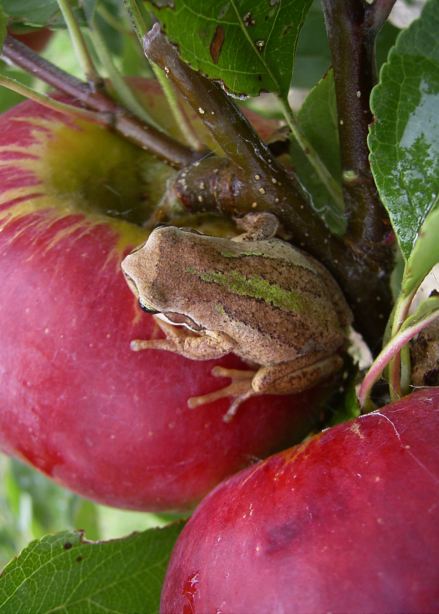 Brown tree frog on Prima apple