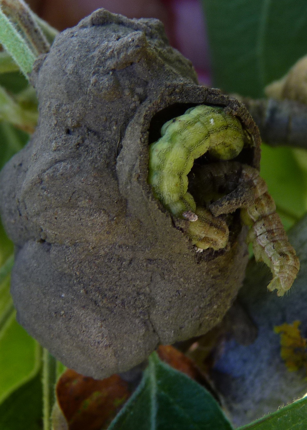 Wasps nest revealing live heliothus inside