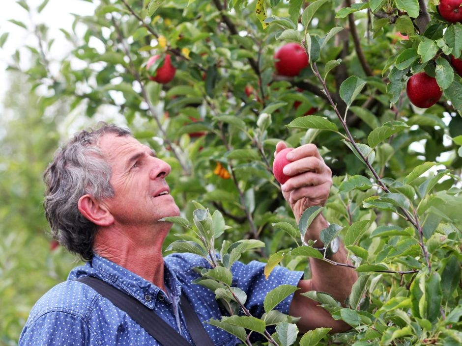 Chris McColl picks early varieties during March 2015 harvest. (Photo -Kate Hill).