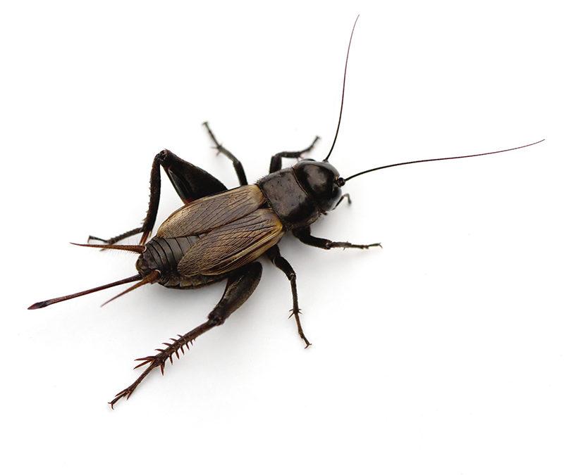 crickets.jpg