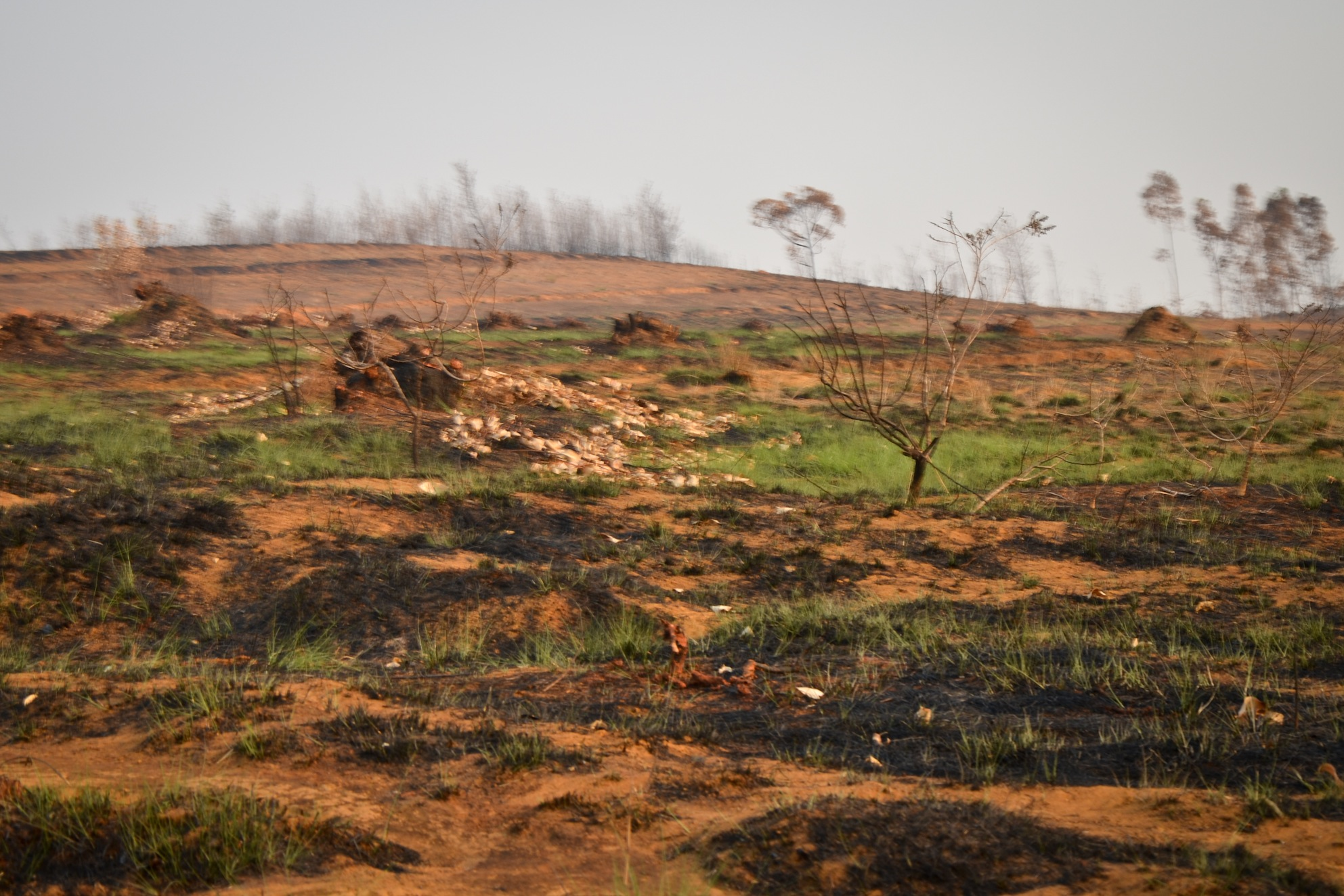 Small grass sprouts emerge from the ashes of a recently burned hillside. This is the traditional practice of doro-tanetry, the expansive burning of shrubbery prior to the rainy season to promote the growth of young, green grass sprouts for grazing zebu. Photo: Alizé Carrère