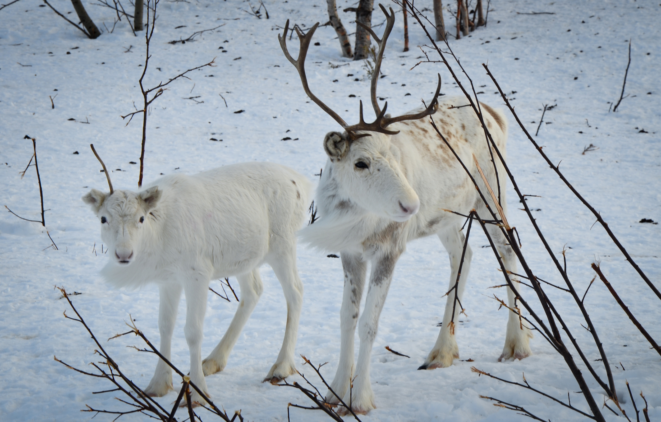 Reindeer herding is a cornerstone of arctic indigenous life across Scandinavia and Eurasia. Photo   ©   Alizé Carrère