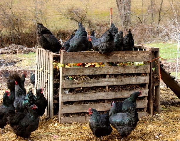 Chickens-on-bin.jpg