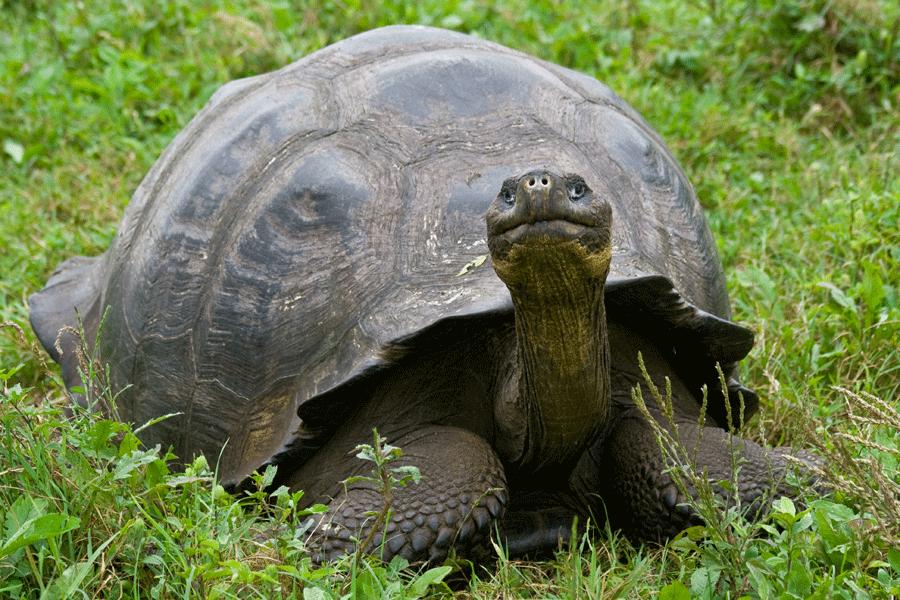 Giant Tortoise - Santa Cruz