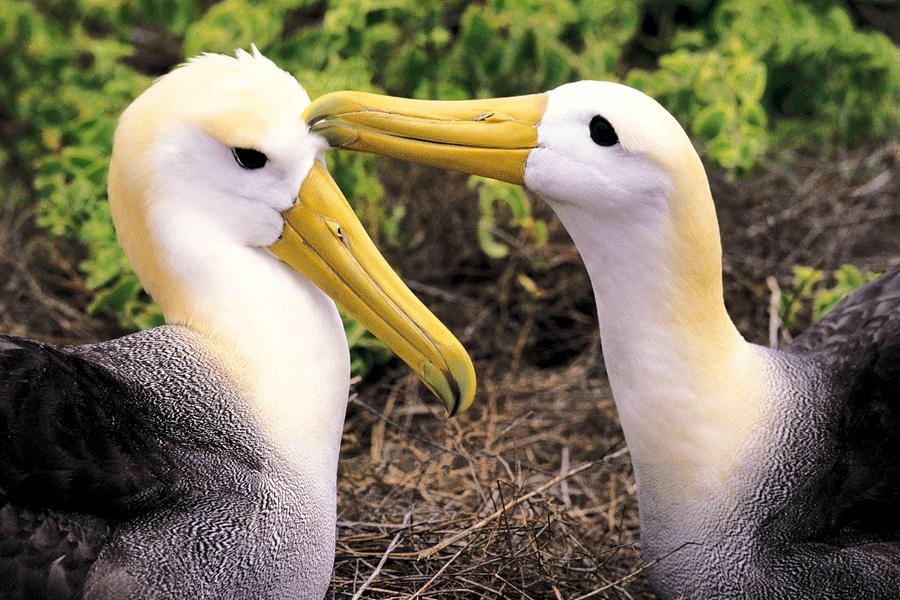 Waved Albatross - Española