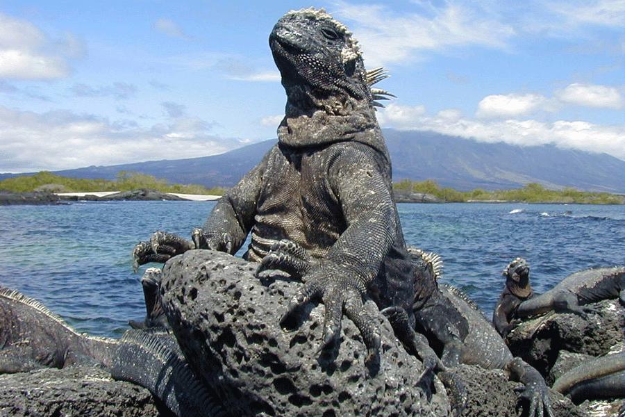Marine Iguanas