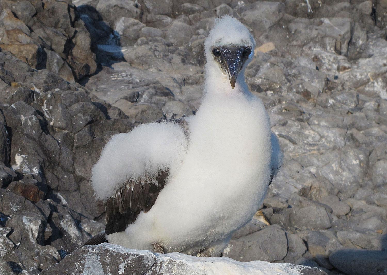 Nazca chick on Española