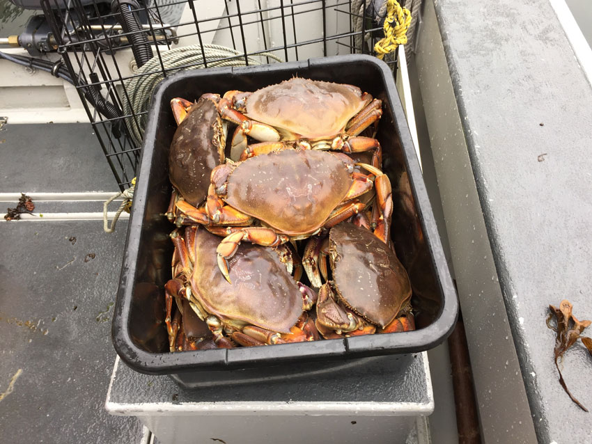 Freshly caught Dungeness Crabs