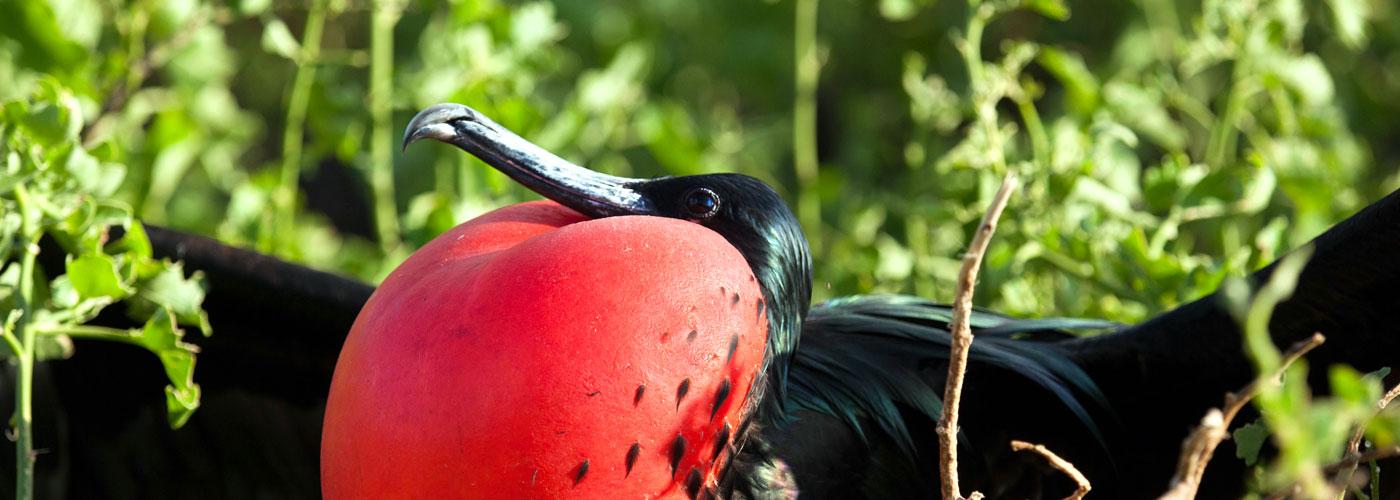 Great Frigate Bird in courtship display
