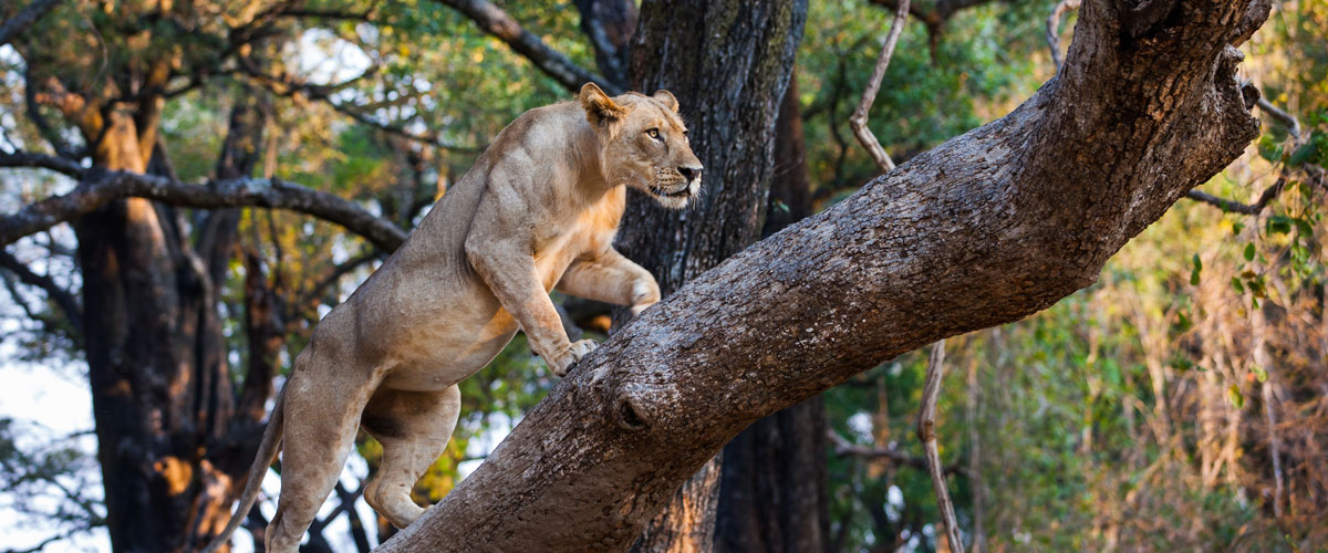 Tree-climbing lion in Zambia