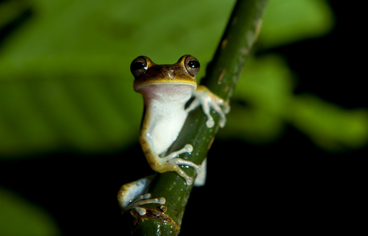 Inquisitive tree frog