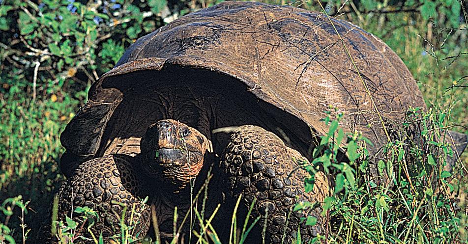 Galapagos Giant Tortoise Photo: Wes Walker