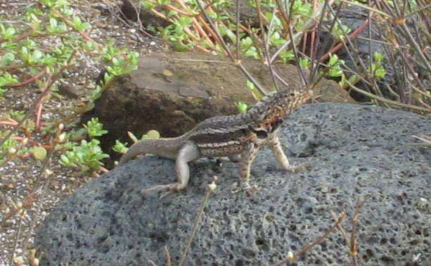 "Male Lava Lizard in ""push-up"" territorial display"