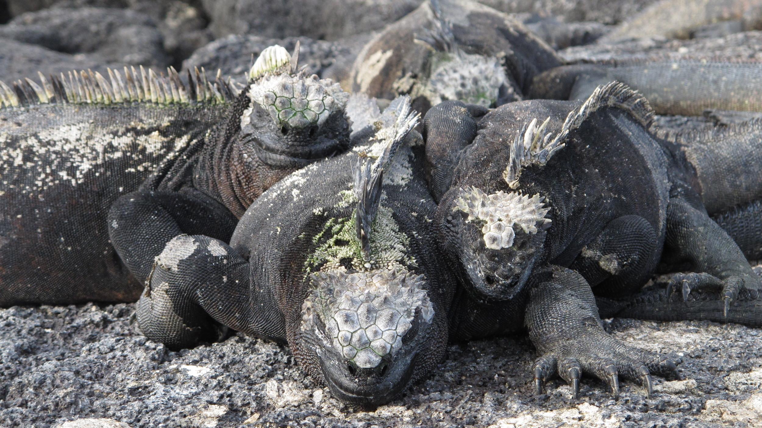 Fernandina subspecies A. c. cristatus blends easily into the volcanic rock. Photo: Alan Abonyi