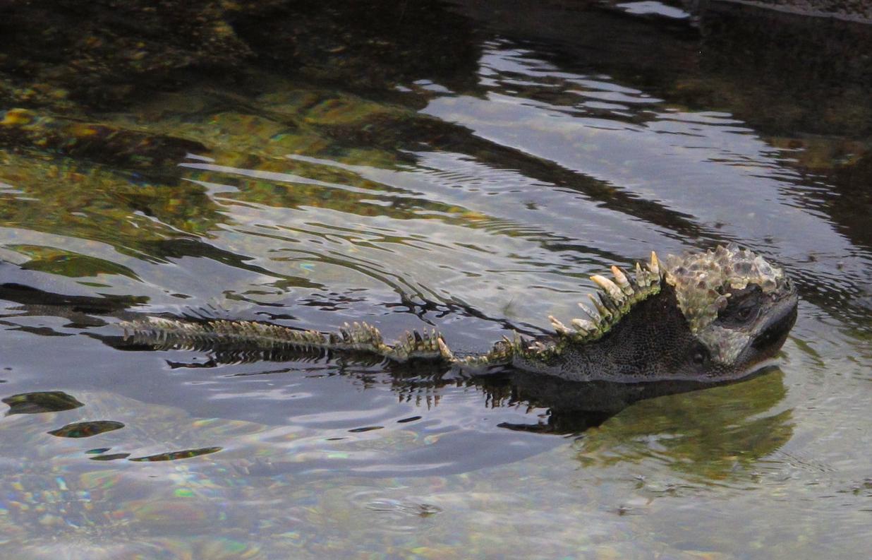 Marine iguana swimming back to shore to warm up after feeding at Punta Espinoza, Fernandina. Photo: Alan Abonyi