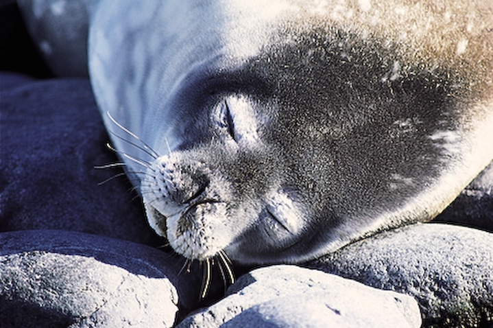A Southern fur seal taking a siesta in the sun