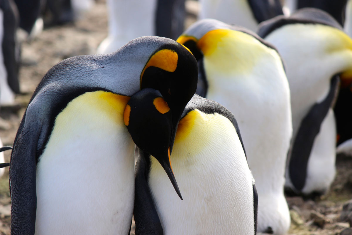 King penguins mate for life