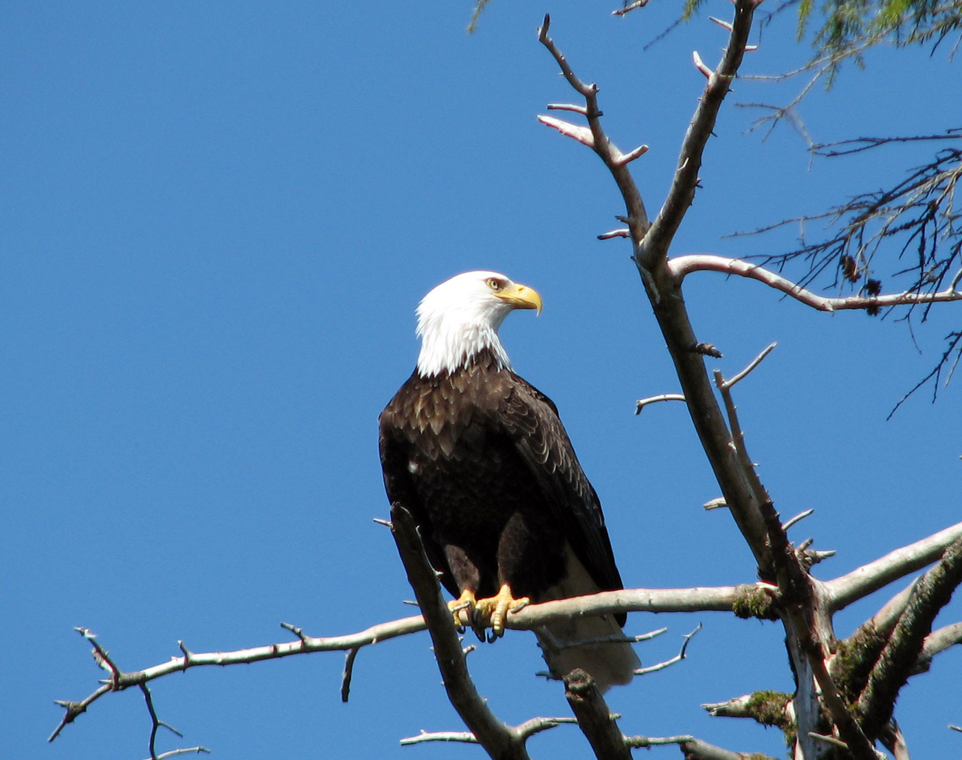 Bald eagles stand watch