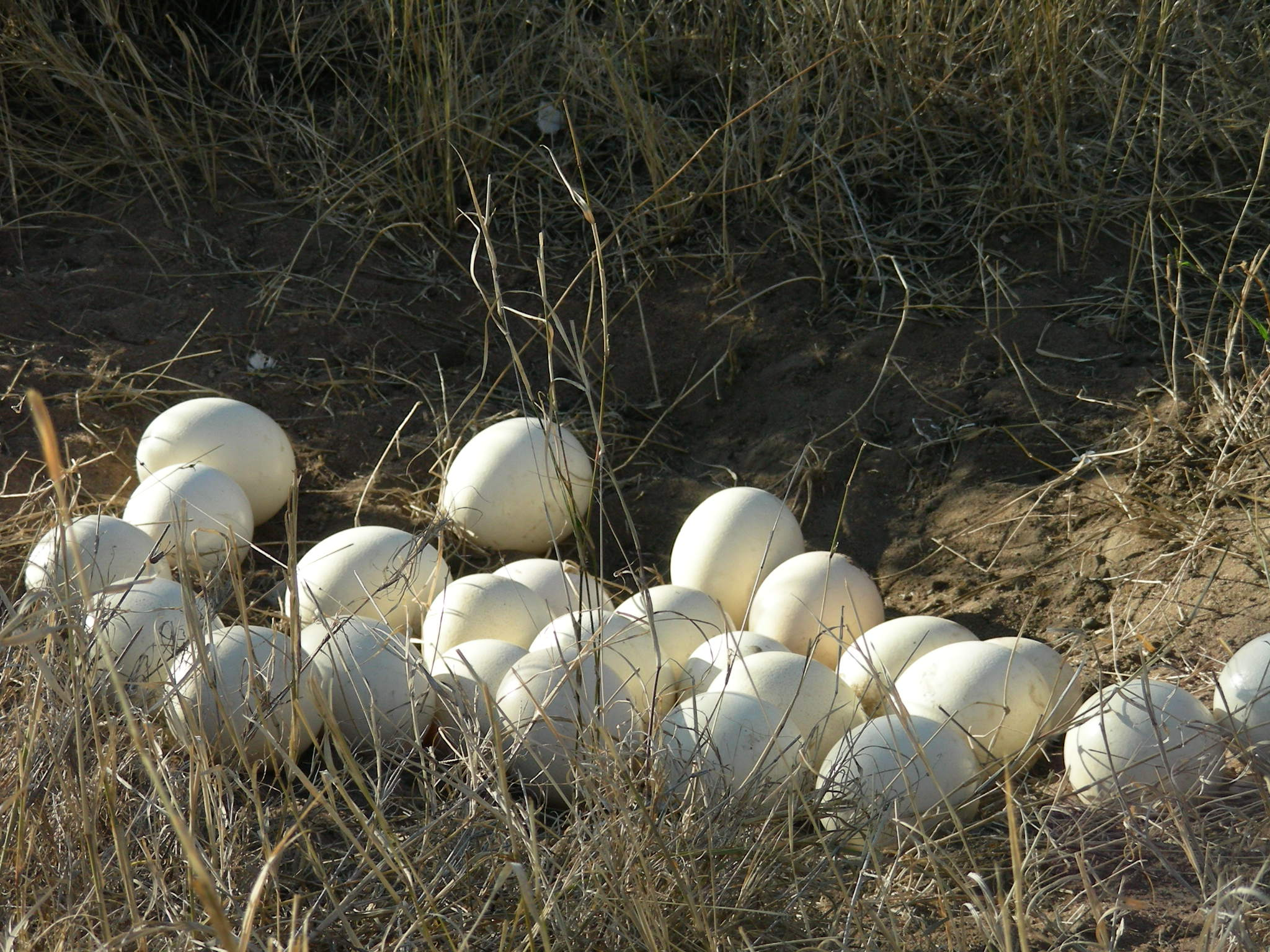 A discovery of Ostrich eggs