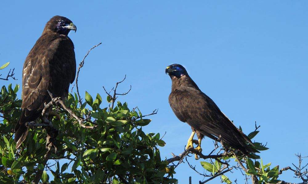 Galápagos Hawks at Espumilla Beach. Photo ©Alan Abonyi
