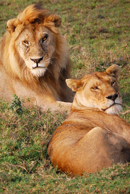 Lions enjoying a quiet moment in the Serengeti