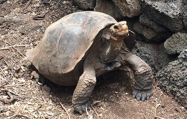 Floreana breeding tortoise banner image © Wacho Tapia.