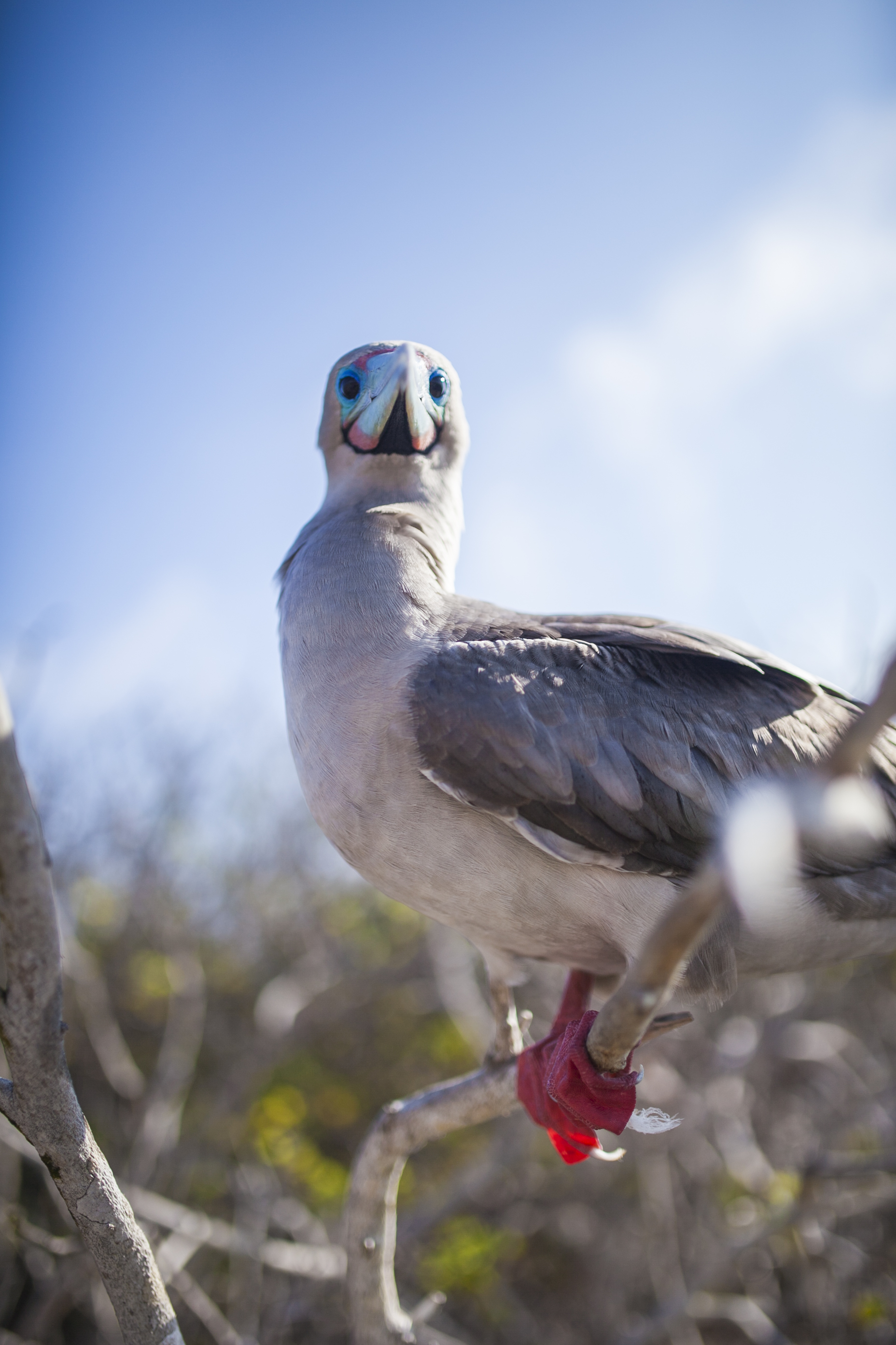 Red-foooted Booby, Genovessa