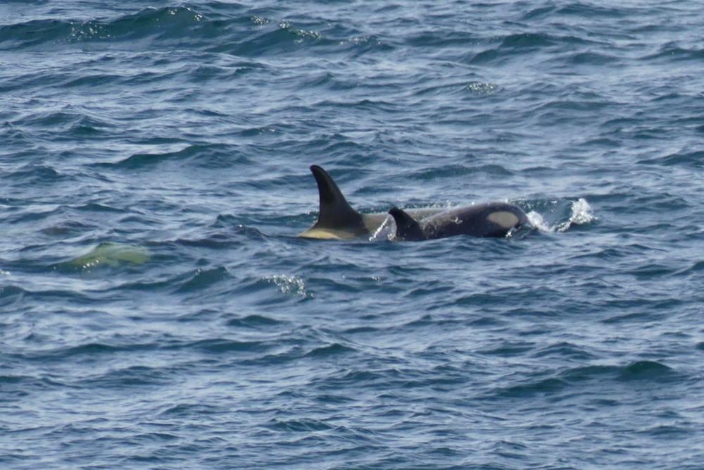 orcas_richard_polatty.jpg