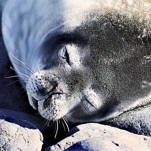 A Southern fur seal taking a siesta in the sun