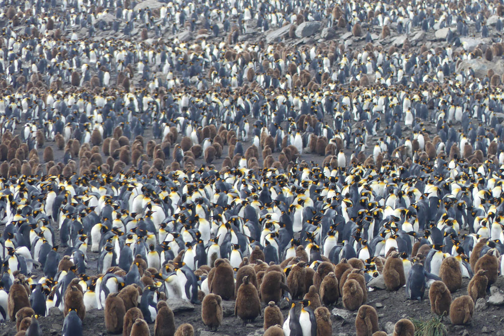 The largest king penguin rookery on the planet