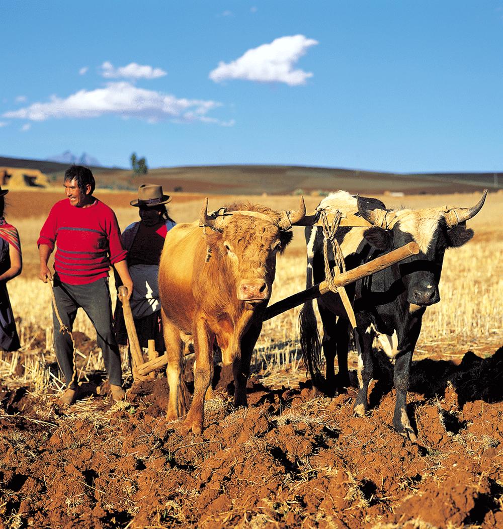 Ploughing Chincheros