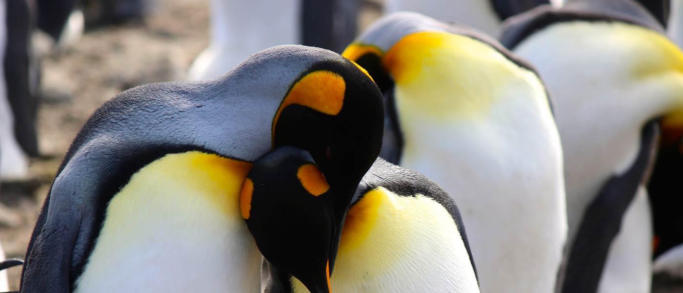 King Penguins on South Georgia