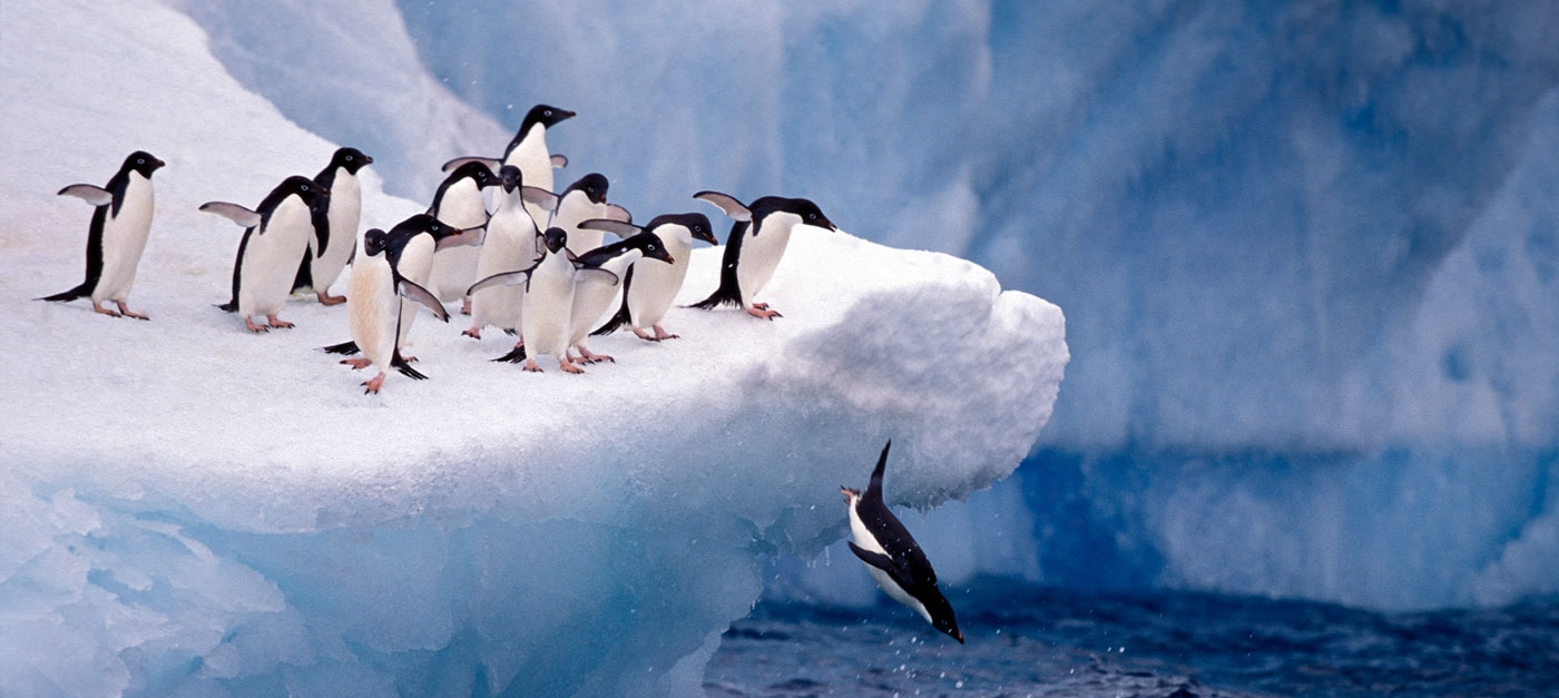 Adelie penguins jumping off an iceberg