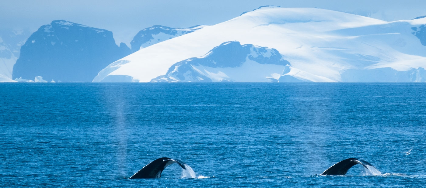 Whales off the Antarctic Peninsula
