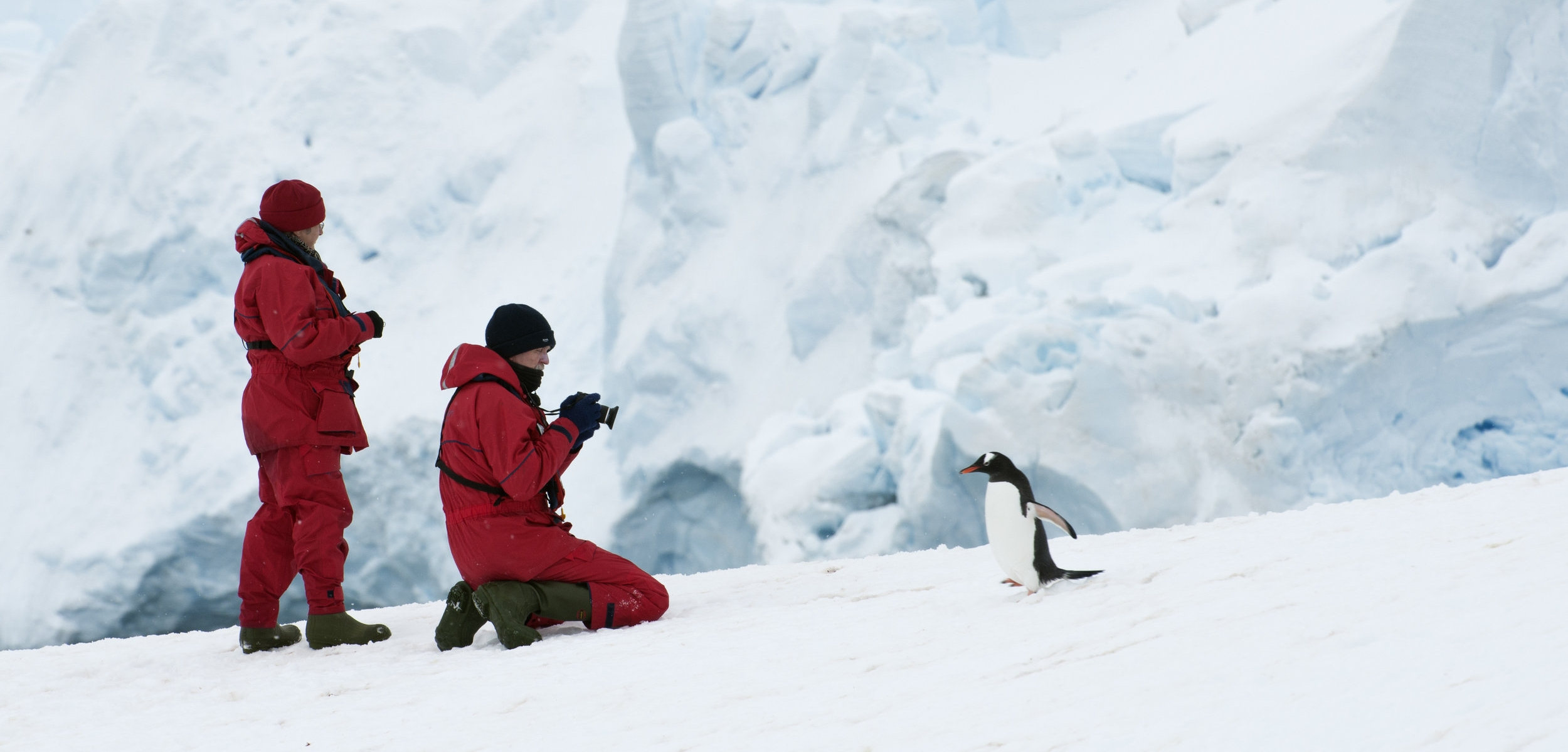 Photographing a curious Gentoo penguin